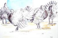 Dindons à la ferme / Encre et aquarelle / 70 x 50